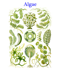 The Algae is a very large and diverse group of organisms, ranging from unicellular genera to giant kelp, a large brown alga.
